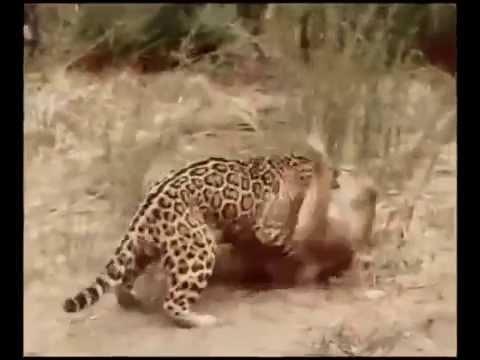 Jaguar vs Puma ‐