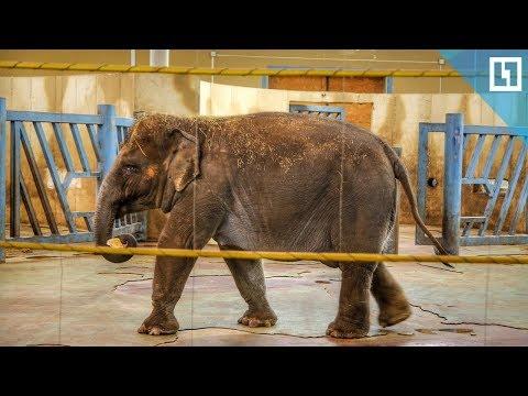 Слонов кормят блинчиками