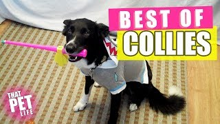 Best Border Collies of 2019 🐶 | Funny Pet Videos