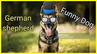 German shepherd cute funny dog