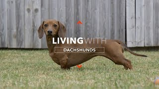 ALL ABOUT LIVING WITH DACHSHUNDS