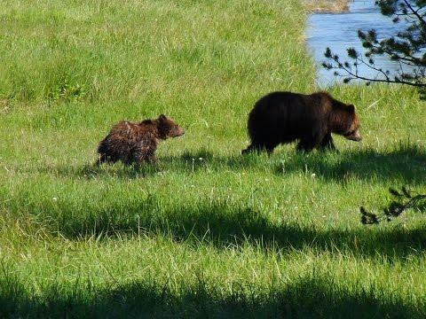 Yellowstone National Park - Wildlife