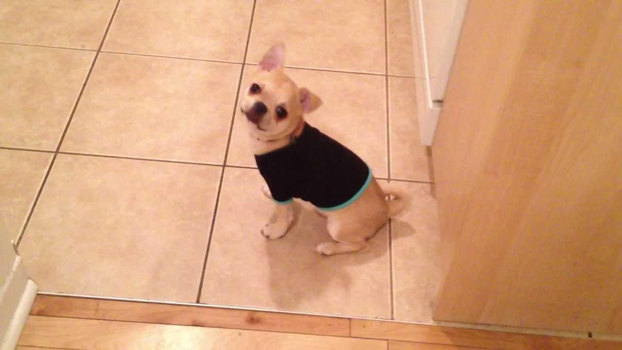 PUG BOSTON TERRIER Chihuahua mix - YouTube