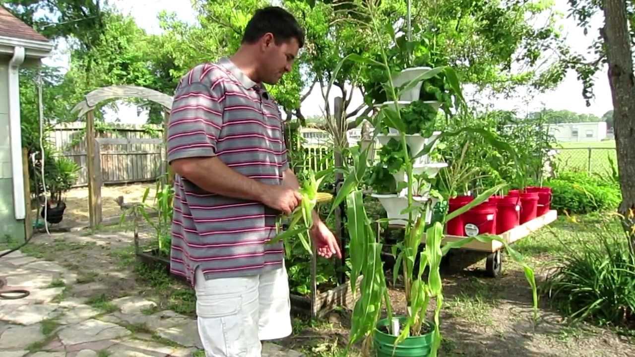 Container corn growing corn in 5 gal buckets youtube - Gallon bucket garden container ...