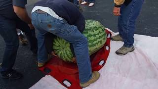 World record 350.5 Kent Giant Watermelon