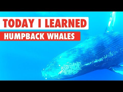 Today I Learned: Humpback Whales