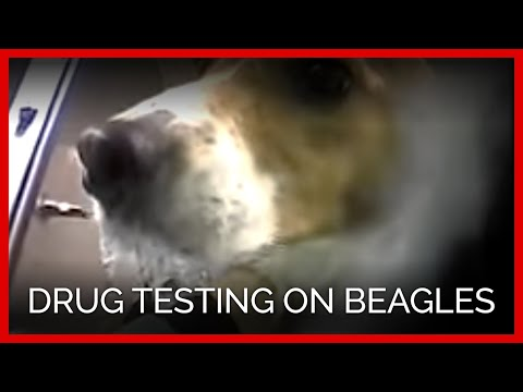 Drug Testing on Beagles