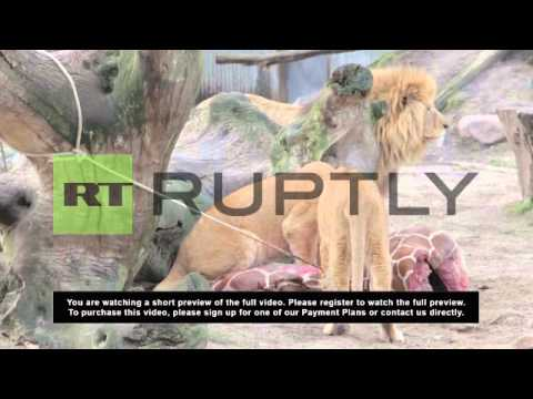 Denmark: Zoo that slaughtered Marius the giraffe and fed him to lions ... kills lion family