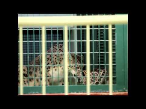 ユキヒョウ リーベと赤ちゃんのお食事風景 Snow Leopard 円山動物園