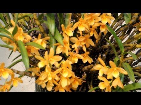 Orchid dendrobium nobile, orquídeas sobre troncos de coqueiros, belezas naturais,