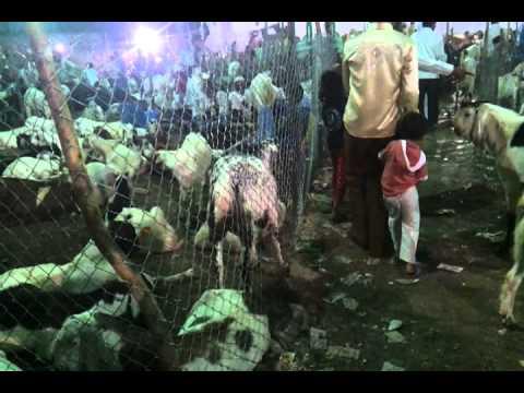 surat bakra mandi kamela 2011