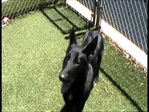 Rare And Different Pure Black Color German Shepherd Dog For Sale