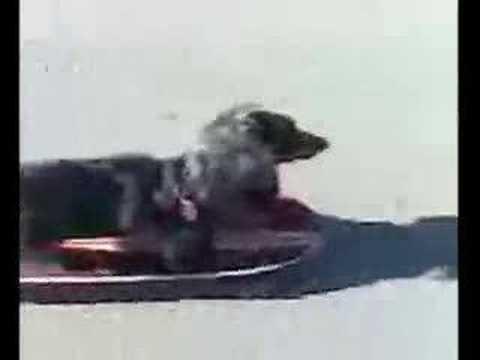 Parry Gripp - Wiener Dog Riding A Skateboard