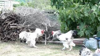 download lagu Brahma Roosters - Hens In The Yard.-brahma Chicken -agrokota.gr gratis