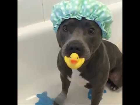 Staffy in the shower