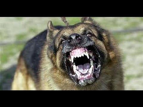 german shepherd attacks poodle puppy youtube