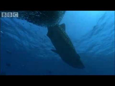 Whale Shark - BBC Planet Earth Video
