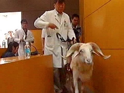 Chinese researchers unveil sheep with new type of artificial heart