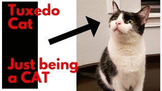 Tuxedo Cat Compilation 2019 - Funny Tuxedo Cats - Top Cat Clips of Paws & Biscuits