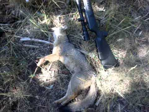 Fox shot with Crosman Venom .177 pellet gun