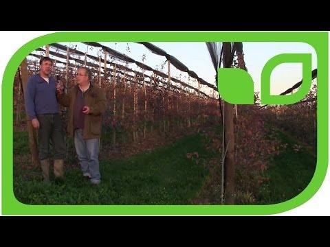 Redloveproduktion In Der Schweizer Obstbauanlage Von Beat Lehner
