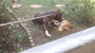 Pitbull kills neighbors cat!