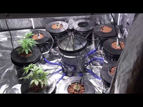 Growing marijuana in a hydroponic system