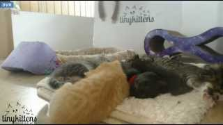 Tiny Kittens Hiccups little fart