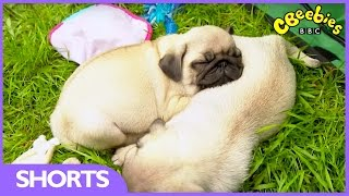 CBeebies | My Pet And Me | Pug Party