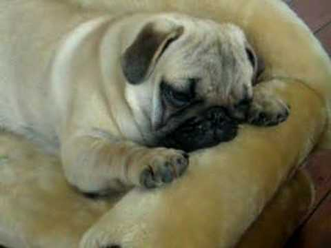 Fat Cute Pugs Fat Pug Puppy Falling Asleep