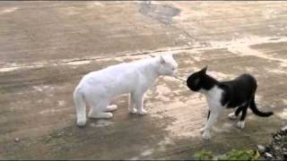 cat fight - the walking cat