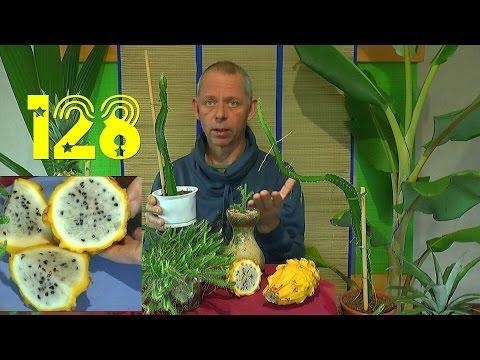 Ananas wie finde ich die Samen in einer Ananas
