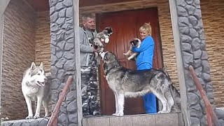 МАЛАМУТЫ. ВОЖАК СТАИ.Leader of the Pack.Alaskan Malamute.Odessa.