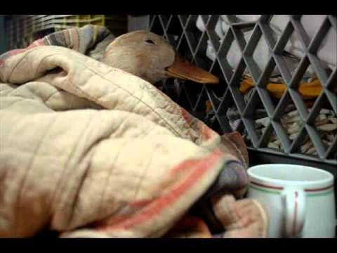 Jeff Beck - Constipated Duck