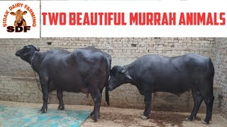 One more beautiful buffalo, ਇਕ ਹੋਰ ਨਗੀਨਾ ਫਾਰਮਰ ਦੇ ਘਰ also bull for sale