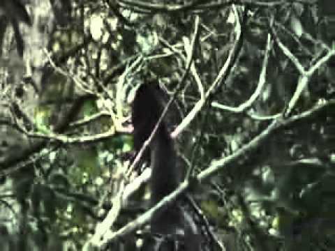 Malabar giant squirrel at Peryiar Tiger Reserve