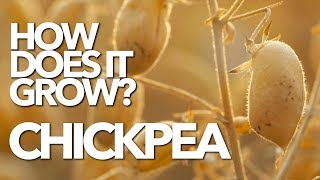 CHICKPEA | How Does it Grow? (Garbanzo)