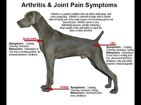 Arthritis Young Dog Dog Arthritis Symptoms