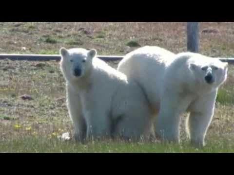 Scientists trapped by hungry polar bears.