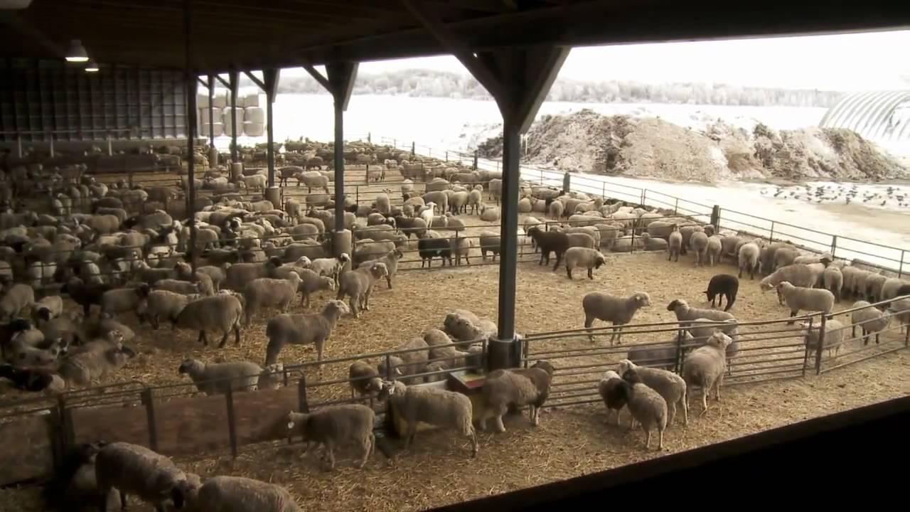 Ontario Lamb Farming YouTube