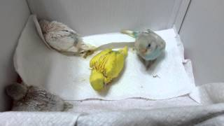 Watch us Baby Budgies Grow