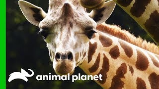 Male Giraffe Gets Ready To Move To The Bronx Zoo For Breeding Program | The Zoo