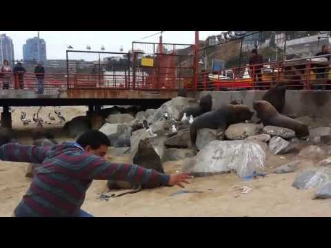 Hombre es comido por manada de lobos marinos