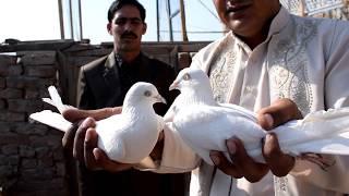 Champion low flyer kabootar Ustad waseem munj dy of kamalia part 2 by wasif