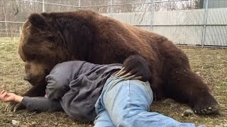Why Doesn't Jimbo The 1,400-lb Bear Rip This Man To Shreds?