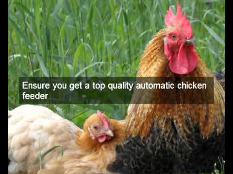 chicken feeders   Imperial CA   automatic chicken feeder   feeding chickens   poultry feeders hens