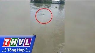 THVL   Cá sấu xuất hiện trên sông Long Hồ