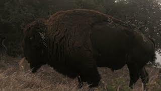 Catalina Island wildlife American bison animal fact video