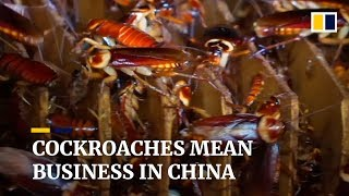 Pest to protein: China processes waste with cockroaches