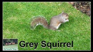 😍 Feeding a Cute Grey Squirrel by Hand 😍